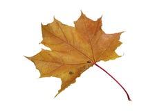 Jeden liść klonowy Zdjęcia Stock