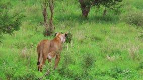 Jeden lwa polowanie zbiory wideo
