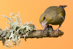 Jeden męski Greenfinch ptak umieszczał na gałąź z liszajem Fotografia Stock