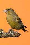 Jeden męski Greenfinch ptak umieszczający na gałąź Fotografia Stock