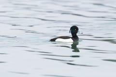 Jeden męski kiciasty kaczki aythya fuligula dopłynięcie w wodzie, fala Obraz Stock