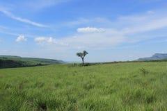 Jeden mała samotna pojedyncza drzewna pozycja w zielonym polu trawa w afrykańskiej naturze w południowym Africa, królewski natal, Obraz Royalty Free