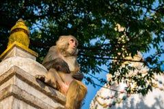 Jeden małpi obsiadanie pod drzewem obok Tybetańskiej stupy w Małpiej świątyni, Nepal obrazy stock