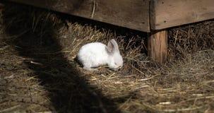 Jeden mały biały królik je siano zdjęcie wideo