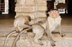 Jeden małpa przygotowywa inny Zdjęcia Royalty Free