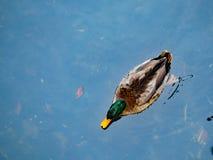 Jeden mallard samiec dzwonił kaczorów pływania w stawie Obrazy Royalty Free