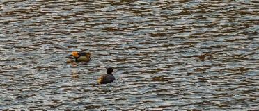 Jeden mandarynki kaczka i jeden Amerykański Coot Obraz Stock