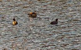 Jeden mandarynki kaczki dopłynięcie wraz z dwa Amerykańskim Coot Zdjęcie Royalty Free