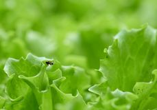 Jeden mrówka na sałacie w ogródzie Fotografia Stock