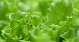 Jeden mrówka na zielonej sałacie w ogródzie Fotografia Stock