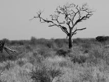 Jeden nieżywy drzewo w szerokim afrykanina krajobrazie Fotografia Stock