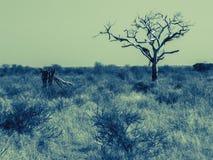 Jeden nieżywy drzewo w szerokim afrykanina krajobrazie Obrazy Stock