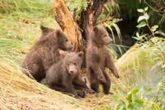 Jeden niedźwiadkowego lisiątka pozycja i trzy siedzi Fotografia Royalty Free