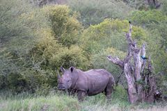 Jeden nosorożec i dwa ptaka w Południowa Afryka obrazy stock