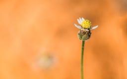 Jeden okwitnięcie trawa na pomarańcze ziemi Fotografia Royalty Free