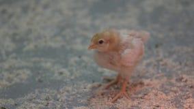 Jeden osamotniony dziecka kurczątko zostaje blisko innych dzieci kurczątek w środku farma drobiu zbiory