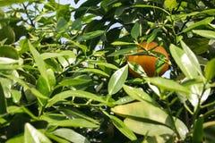 Jeden ostatnia chująca pomarańcze Zdjęcie Stock