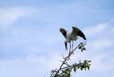 Jeden otwarta wystawiająca rachunek bocianowa ptasia żerdź i oskrzydlony przy wierzchołkiem drzewo na niebieskim niebie i bielu o zdjęcie royalty free