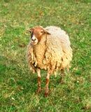 jeden owiec Fotografia Royalty Free
