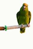 jeden papuga Fotografia Royalty Free