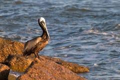 Jeden pelikana fastrygowanie w ranku świetle słonecznym zdjęcia royalty free