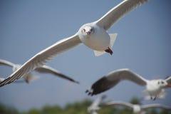 Jeden pięknego seagull latający prowadzenie inny w powietrzu zdjęcia stock
