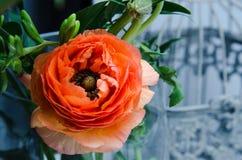 Jeden piękno, wiosny pomarańcze, perski kwiatu jaskieru ranunculus makro- Wieśniaka styl życie, wciąż kolorowe wakacje Zdjęcie Royalty Free