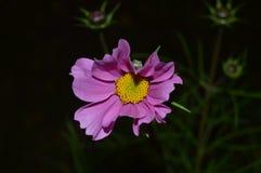 Jeden piękny kwiat w światło reflektorów fotografia royalty free