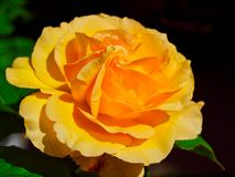 Jeden pomarańcze róża na czarnym tle zdjęcia royalty free
