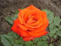 Jeden pomarańczowy hybryd róży kwiat 'Herbaciany czas' Obraz Stock
