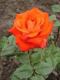 Jeden pomarańczowy hybryd róży kwiat 'Herbaciany czas' Zdjęcie Royalty Free