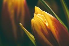 Jeden pomarańczowy tulipan w natura, Makro- Tło lub pocztówka Zdjęcia Stock