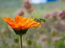 Jeden pomarańczowy kwiat z zielonymi pasikonikami Fotografia Stock
