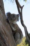 Jeden pozuje koala Fotografia Stock