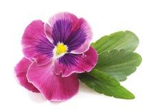 Jeden purpurowy fiołek zdjęcie stock