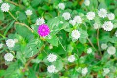 Jeden purpurowy kula ziemska amarant w wiele biały kula ziemska amarant Fotografia Stock