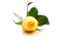 jeden różany kolor żółty zdjęcie stock