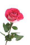jeden różową różę Zdjęcie Royalty Free
