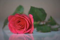 jeden różową różę Zdjęcia Royalty Free