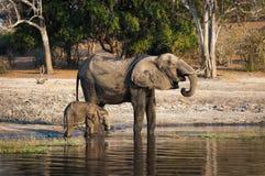 Jeden słoń i swój lisiątko woda pitna w Chobe rzece, Chobe park narodowy w Botswana, Obrazy Stock