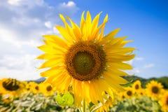 jeden słonecznik obraz royalty free
