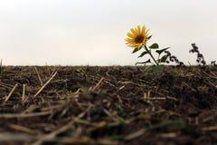 Jeden słonecznik w polu fotografia stock
