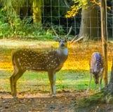Jeden samiec i jeden kobieta, łaciaści osi deers stoi wpólnie drzewem obraz royalty free
