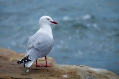 Jeden seagull boczny widok Obrazy Stock