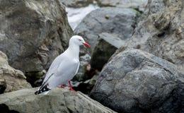 Jeden seagull boczny widok Obraz Royalty Free
