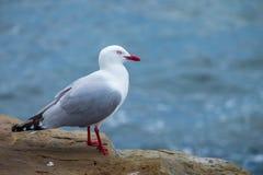 Jeden seagull boczny widok Fotografia Stock