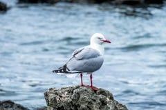 Jeden seagull boczny widok Zdjęcia Royalty Free