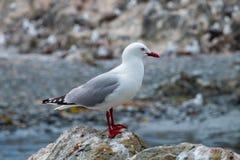 Jeden seagull boczny widok Zdjęcia Stock