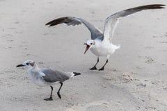 Jeden seagull skrzeczy przy inny Fotografia Royalty Free