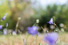 Jeden skupiający się bluebell kwiat Obrazy Royalty Free